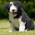 Bearded Collie Puppy by John Daniels