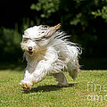 Bearded Collie Running by John Daniels