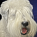 Bearded Collie - The 'bouncing Beardie' by Christine Till