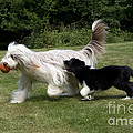 Bearded Collies Playing by John Daniels