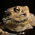 Bearded Dragon by Ernie Echols