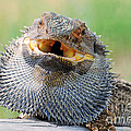 Bearded Dragon In Defense Mode by Christopher Edmunds