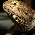 Bearded Dragon Profile by Ernie Echols