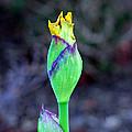 Bearded Iris Bud  by Susan Wiedmann