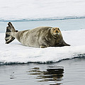 Bearded Seal On Ice Floe Norway by Konrad Wothe