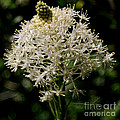 Beargrass Bloom by Sharon Elliott