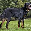 Beauceron Dog by Johan De Meester