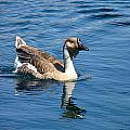 Beautiful African Brown Goose by Denise Mazzocco