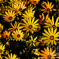 Beautiful African Daisies by Robert Bales