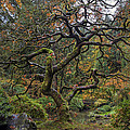 Beautiful And Bare Japanese Lace-leaf Maple Tree by David Gn