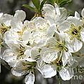 Beautiful Apple Blossoms by Carol Groenen