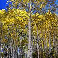 Beautiful Aspen Tree by Rendell B