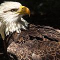 Beautiful Bald Eagle by Larry Allan