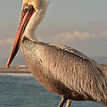 American White Pelican by Luv Photography