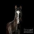 Beautiful Black Arabian Headshot by Heather Swan
