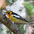 Beautiful Blackburnian Warbler by Lloyd Alexander