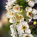 Beautiful Blossoms by Sennie Pierson