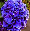 Beautiful Blue Hydrangea by Robert Bales