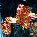 Gorgeous Tulip by Phyllis Kaltenbach