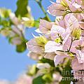 Beautiful Bougainvillea Flowers Against Blue Sky by Aleksandar Mijatovic