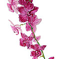 Beautiful Burgundy Orchid Flower Original Floral Painting Pink Orchid I By Megan Duncanson Madart by Megan Duncanson