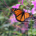 Beautiful Butterfly by Lydia Holly