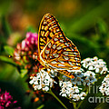 Beautiful Butterfly by Robert Bales
