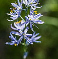 Beautiful Camas Lily In Idaho by Vishwanath Bhat