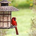 Beautiful Cardinal by Trina  Ansel