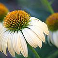 Beautiful Coneflowers by Carolyn Fletcher