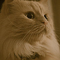 Beautiful Creamy Persian Cat Mix Portrait by Eti Reid