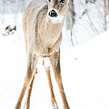 Beautiful Deer by Cheryl Baxter