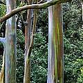 Beautiful Eucalyptus by DJ Florek