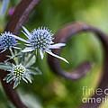 Beautiful Flower Buds by Vishwanath Bhat