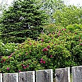 Beautiful Front Yard - Roses - Trees by Barbara Griffin