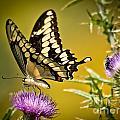 Beautiful Golden Swallowtail by Cheryl Baxter