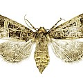 Beautiful Gothic Moth by Science Photo Library