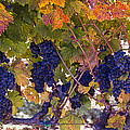 Beautiful Grape Harvest by Garry Gay