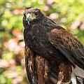 Beautiful Harris Hawk by Yeates Photography