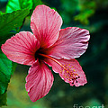 Beautiful Hibiscus by Robert Bales