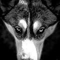 Beautiful Husky by Karen Lewis