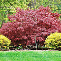 Beautiful Japanese Maple by Aimee L Maher ALM GALLERY