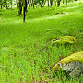 Beautiful Lush Vobrant Image Of Ancient Woodland by Matthew Gibson