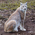 Beautiful Lynx by Jutta Maria Pusl