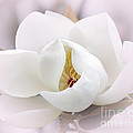 Beautiful Magnolia Bloom by Sabrina L Ryan