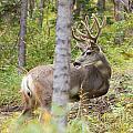 Beautiful Mule Deer Buck With Velvet Antler  by Stephan Pietzko