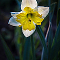 Beautiful Narcissus by Robert Bales