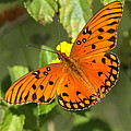 Beautiful Orange Butterfly - Gulf Fritillary by Christiane Schulze Art And Photography