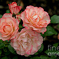 Beautiful Peach Roses by Living Color Photography Lorraine Lynch