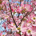 Beautiful Pink Dogwood Tree Flowers by Eva Kaufman